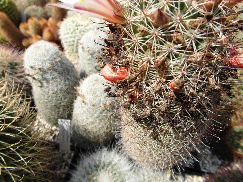 Cacti and Sukkulent in Köln, every day new flowers in the greenhouse Part 78 Bild1506