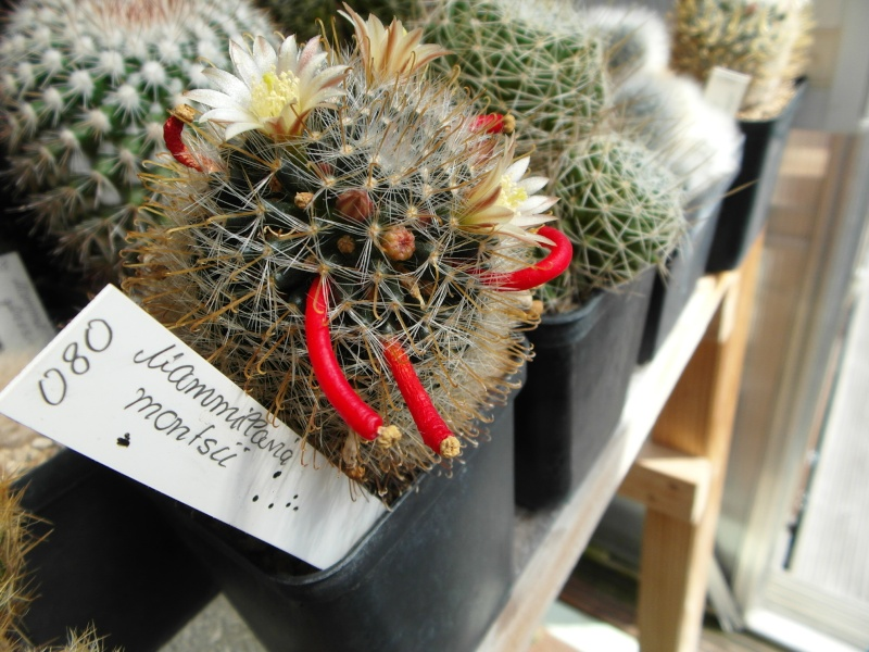 Cacti and Sukkulent in Köln, every day new flowers in the greenhouse Part 78 Bild1508