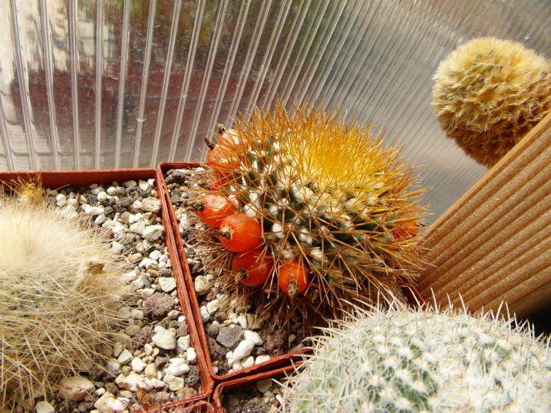 Cacti and Sukkulent in Köln, every day new flowers in the greenhouse Part 78 Bild1511