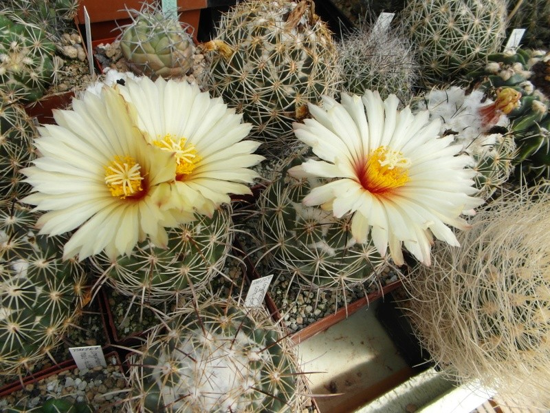Cacti and Sukkulent in Köln, every day new flowers in the greenhouse Part 78 Bild1517