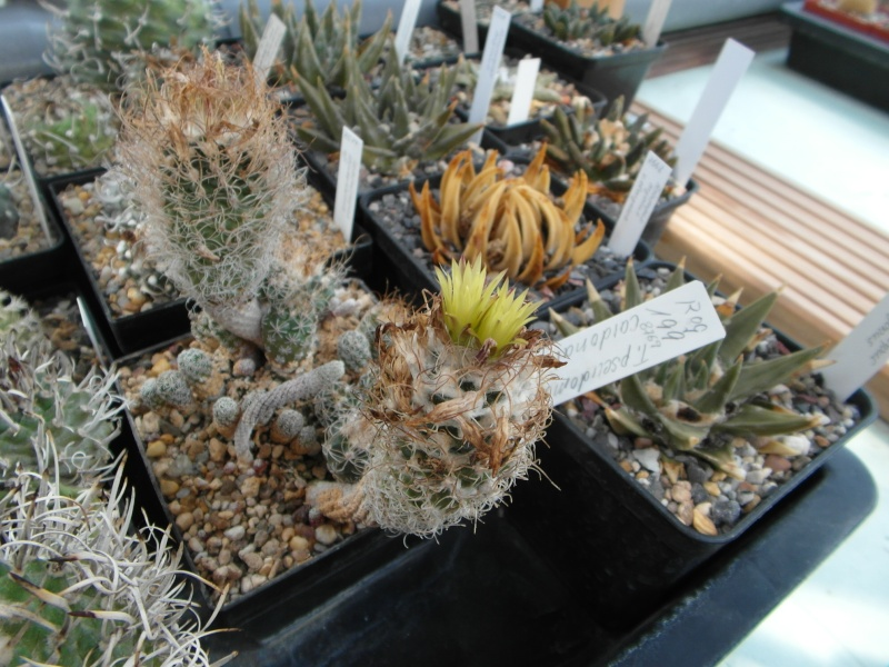 Cacti and Sukkulent in Köln, every day new flowers in the greenhouse Part 78 Bild1522