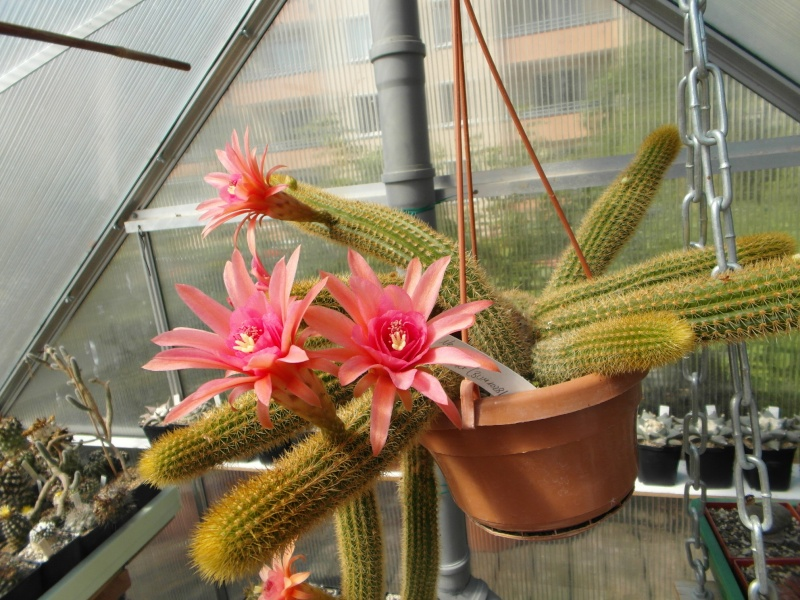 Cacti and Sukkulent in Köln, every day new flowers in the greenhouse Part 78 Bild1523
