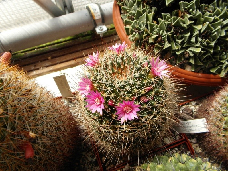 Cacti and Sukkulent in Köln, every day new flowers in the greenhouse Part 78 Bild1531