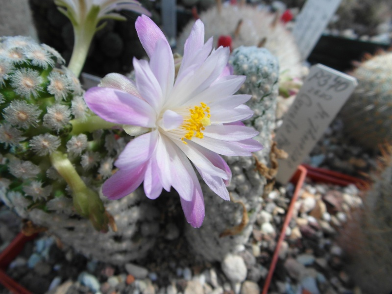 Cacti and Sukkulent in Köln, every day new flowers in the greenhouse Part 79 Bild1538