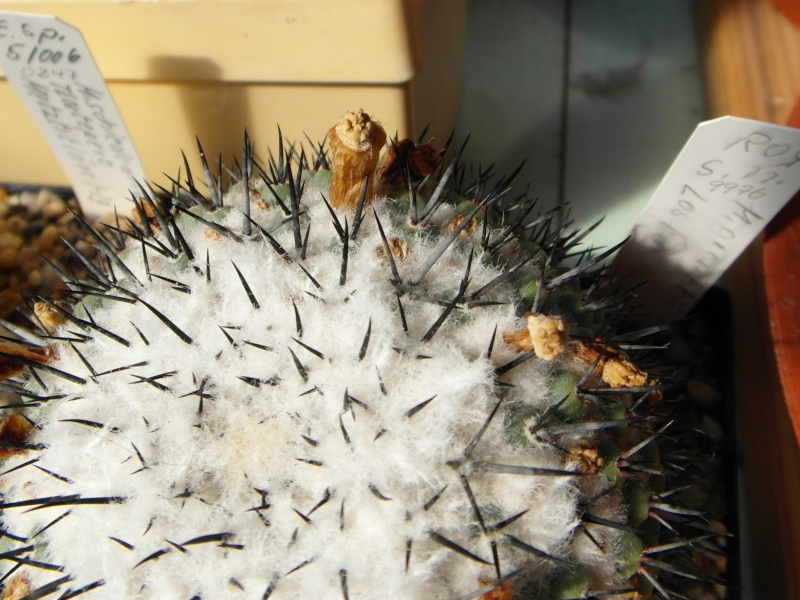 Cacti and Sukkulent in Köln, every day new flowers in the greenhouse Part 79 Bild1546
