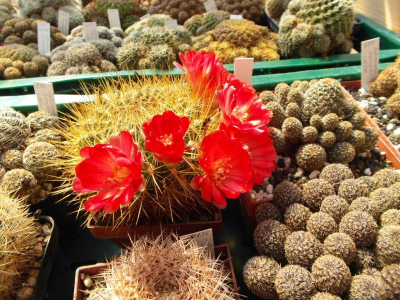Cacti and Sukkulent in Köln, every day new flowers in the greenhouse Part 79 Bild1550