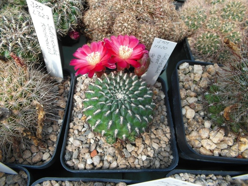 Cacti and Sukkulent in Köln, every day new flowers in the greenhouse Part 79 Bild1553