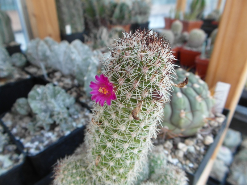 Cacti and Sukkulent in Köln, every day new flowers in the greenhouse Part 79 Bild1556
