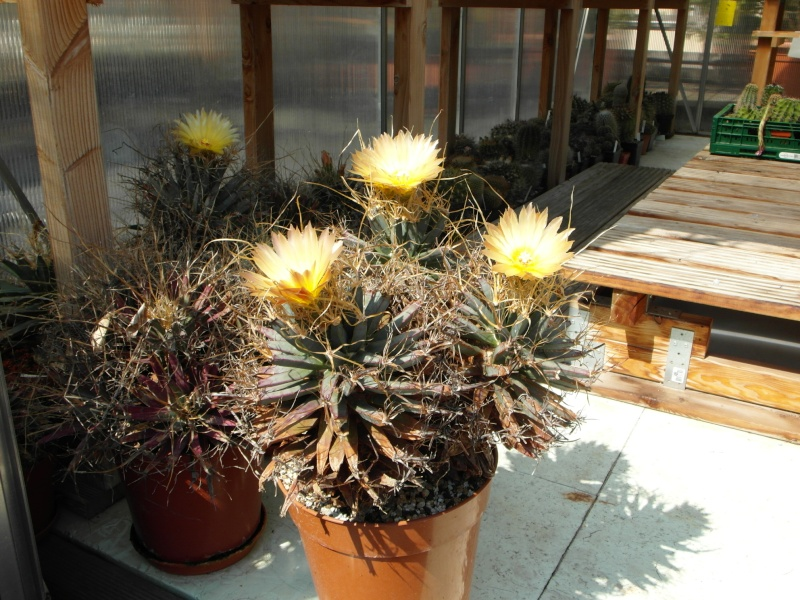 Cacti and Sukkulent in Köln, every day new flowers in the greenhouse Part 79 Bild1560
