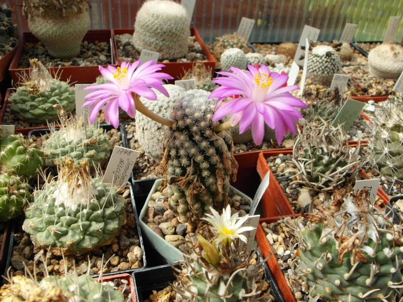 Cacti and Sukkulent in Köln, every day new flowers in the greenhouse Part 79 Bild1562