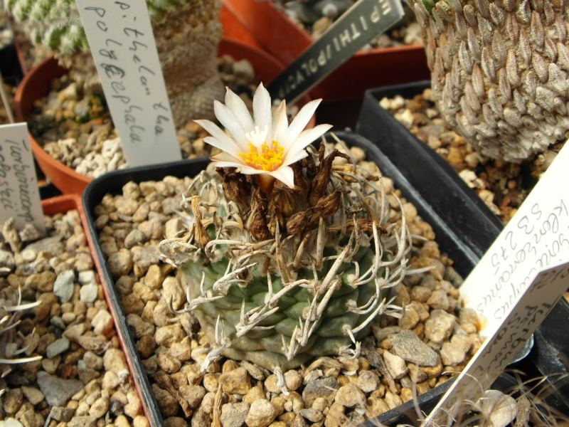 Cacti and Sukkulent in Köln, every day new flowers in the greenhouse Part 79 Bild1565