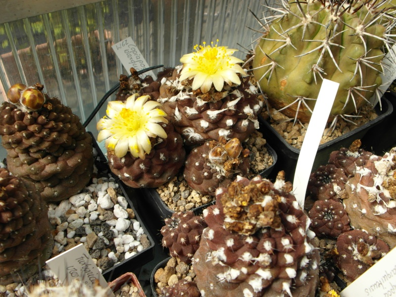 Cacti and Sukkulent in Köln, every day new flowers in the greenhouse Part 79 Bild1567