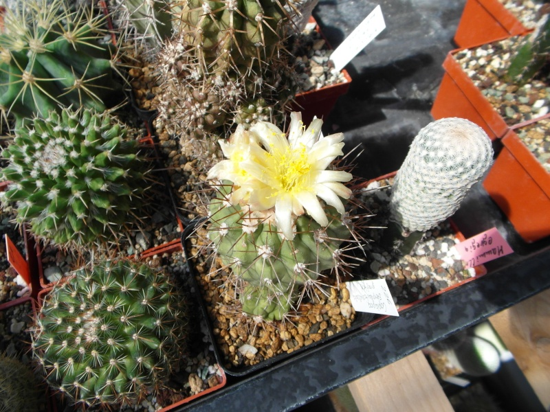 Cacti and Sukkulent in Köln, every day new flowers in the greenhouse Part 79 Bild1568