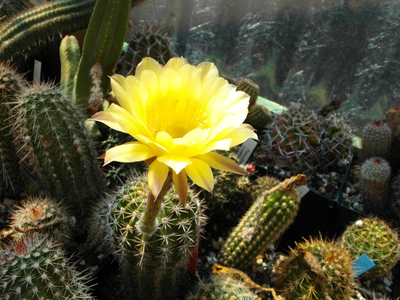 Cacti and Sukkulent in Köln, every day new flowers in the greenhouse Part 79 Bild1570