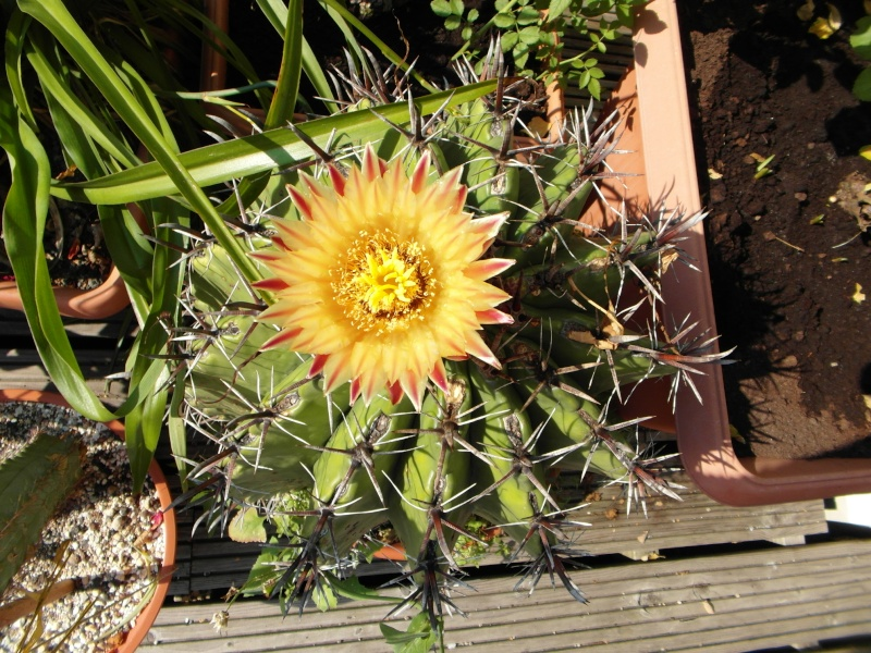 Cacti and Sukkulent in Köln, every day new flowers in the greenhouse Part 79 Bild1575