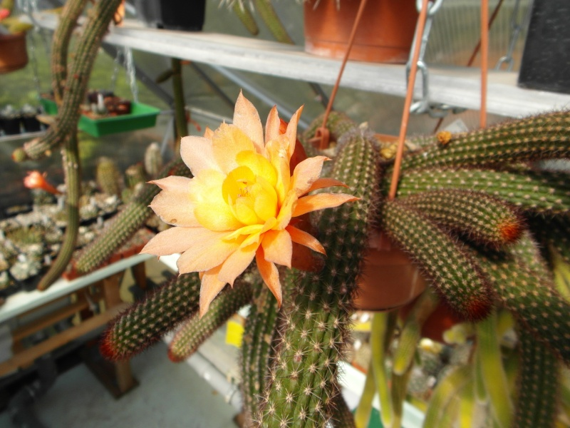 Cacti and Sukkulent in Köln, every day new flowers in the greenhouse Part 79 Bild1580