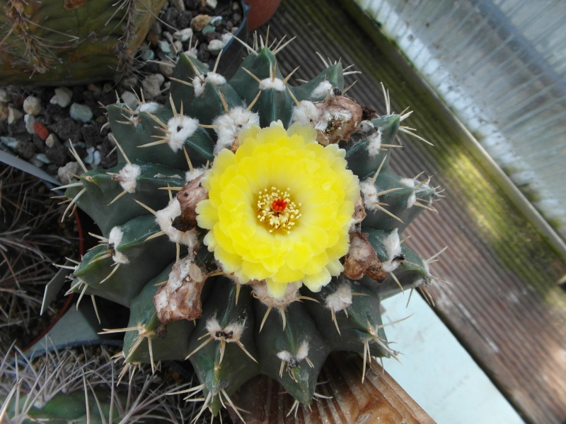 Cacti and Sukkulent in Köln, every day new flowers in the greenhouse Part 79 Bild1582