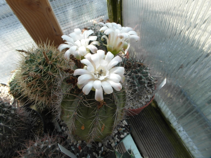 Cacti and Sukkulent in Köln, every day new flowers in the greenhouse Part 79 Bild1583