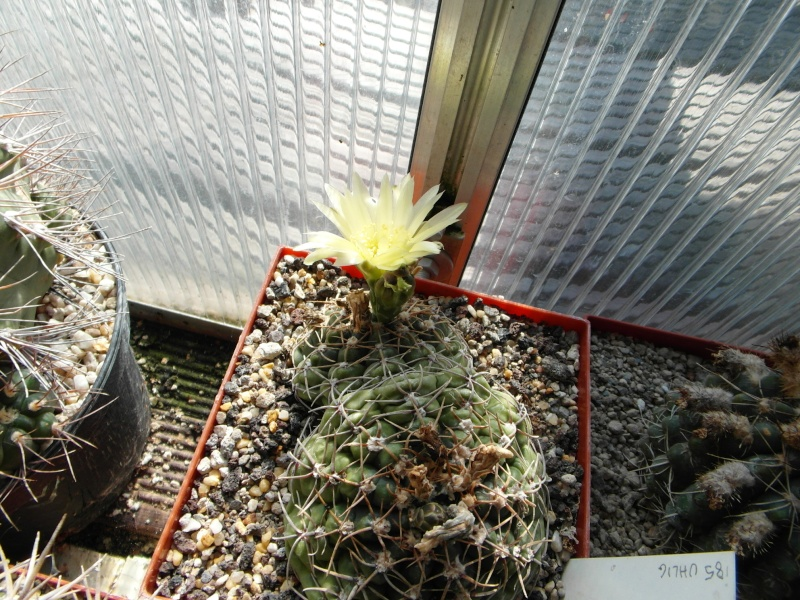 Cacti and Sukkulent in Köln, every day new flowers in the greenhouse Part 79 Bild1584