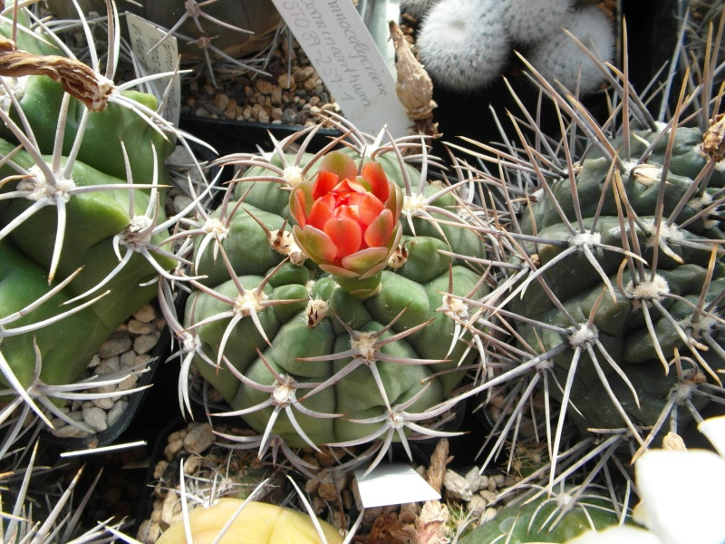 Cacti and Sukkulent in Köln, every day new flowers in the greenhouse Part 79 Bild1585