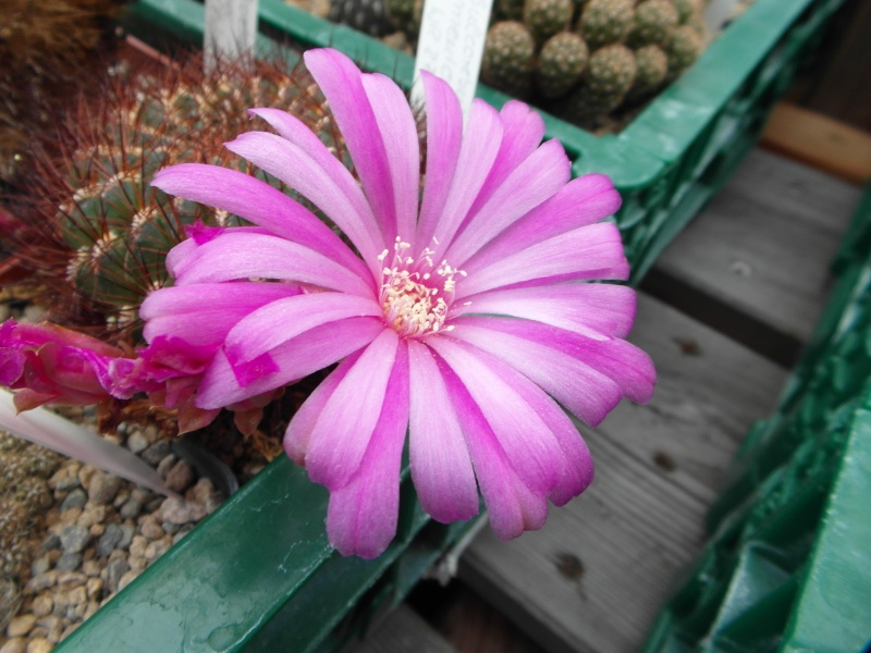 Cacti and Sukkulent in Köln, every day new flowers in the greenhouse Part 79 Bild1590