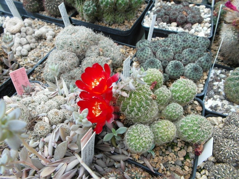 Cacti and Sukkulent in Köln, every day new flowers in the greenhouse Part 79 Bild1592
