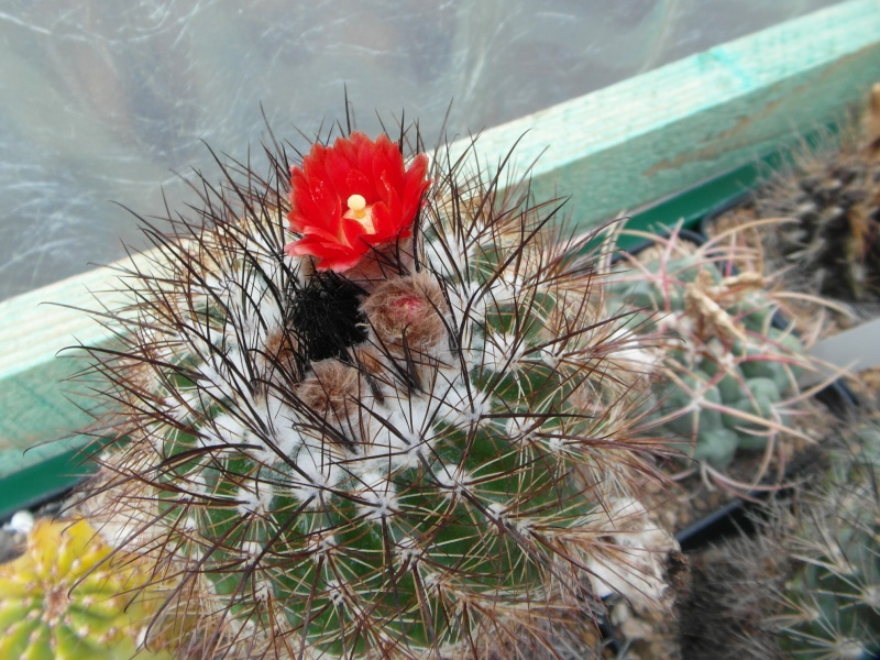 Cacti and Sukkulent in Köln, every day new flowers in the greenhouse Part 79 Bild1593