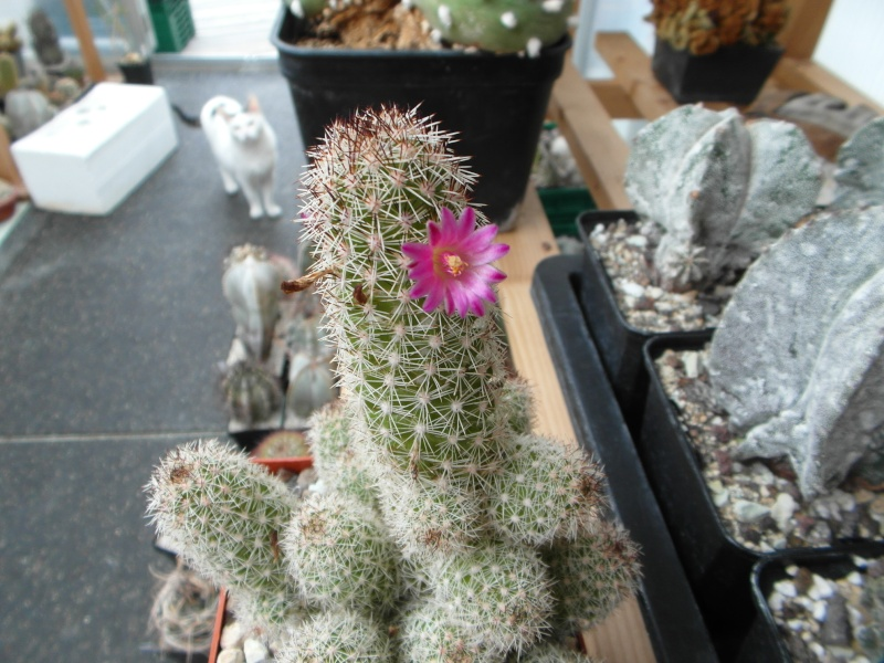 Cacti and Sukkulent in Köln, every day new flowers in the greenhouse Part 79 Bild1595