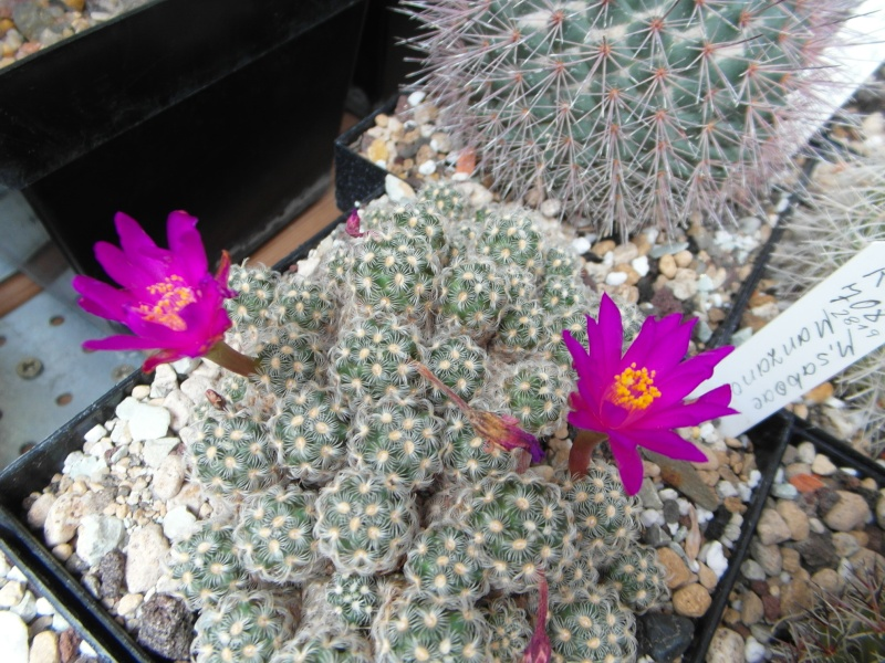Cacti and Sukkulent in Köln, every day new flowers in the greenhouse Part 79 Bild1596