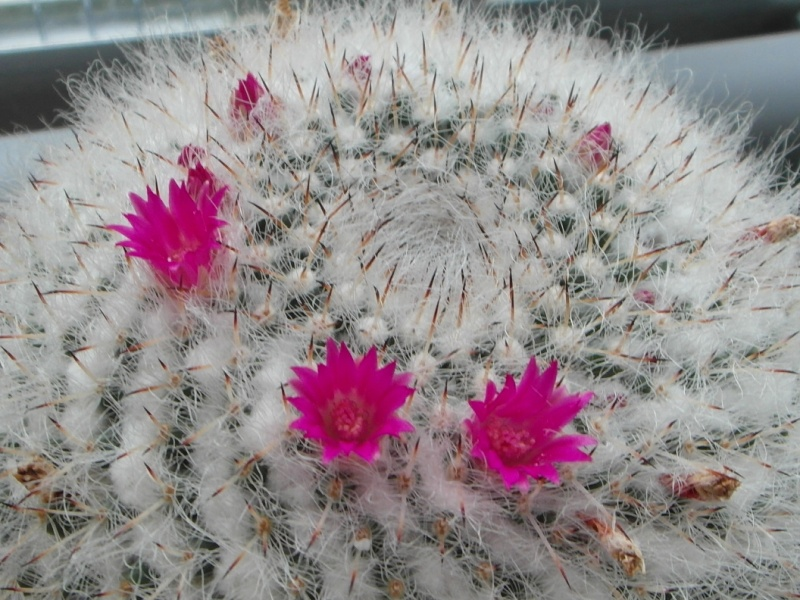 Cacti and Sukkulent in Köln, every day new flowers in the greenhouse Part 79 Bild1597
