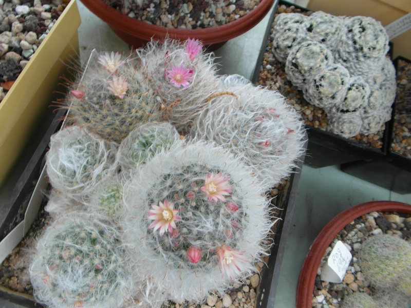 Cacti and Sukkulent in Köln, every day new flowers in the greenhouse Part 79 Bild1598