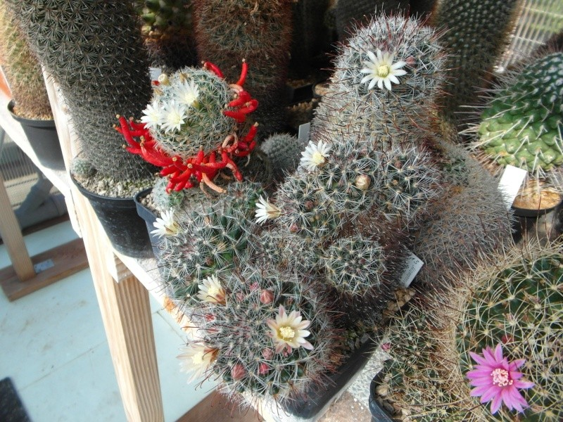 Cacti and Sukkulent in Köln, every day new flowers in the greenhouse Part 79 Bild1600