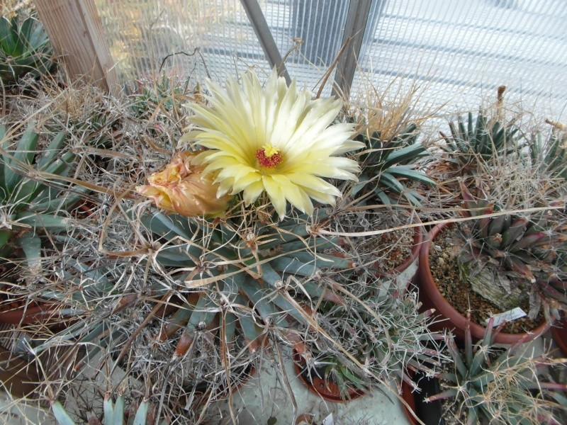 Cacti and Sukkulent in Köln, every day new flowers in the greenhouse Part 79 Bild1603