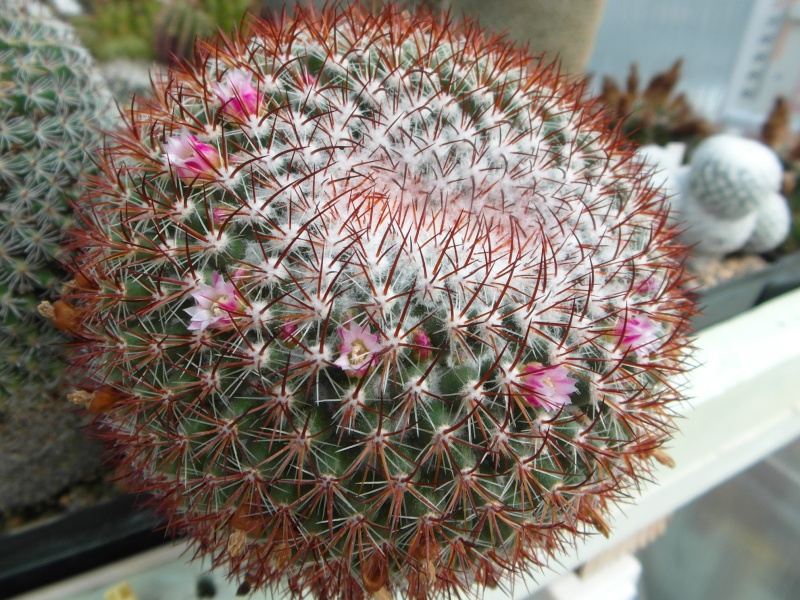 Cacti and Sukkulent in Köln, every day new flowers in the greenhouse Part 79 Bild1604