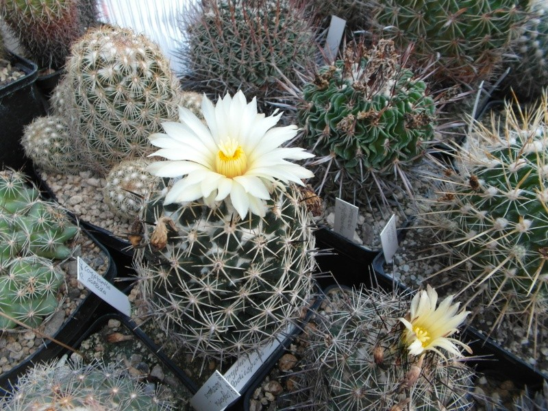 Cacti and Sukkulent in Köln, every day new flowers in the greenhouse Part 79 Bild1605
