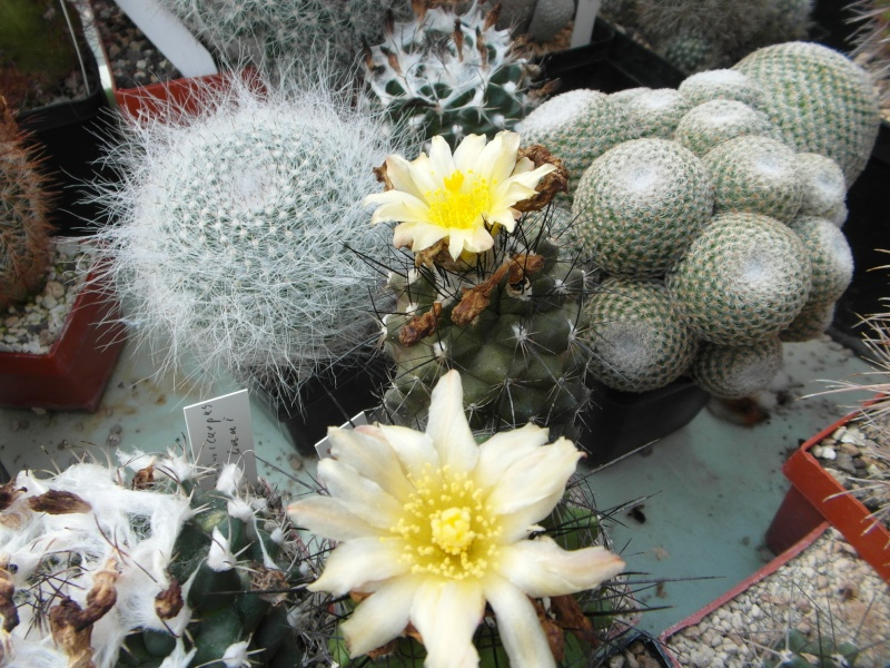 Cacti and Sukkulent in Köln, every day new flowers in the greenhouse Part 79 Bild1607