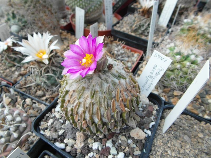 Cacti and Sukkulent in Köln, every day new flowers in the greenhouse Part 79 Bild1609