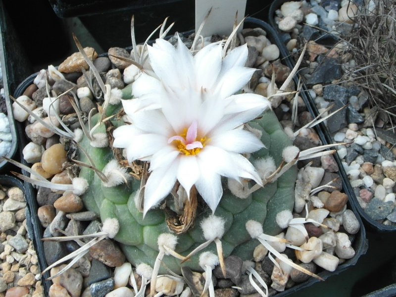 Cacti and Sukkulent in Köln, every day new flowers in the greenhouse Part 79 Bild1610