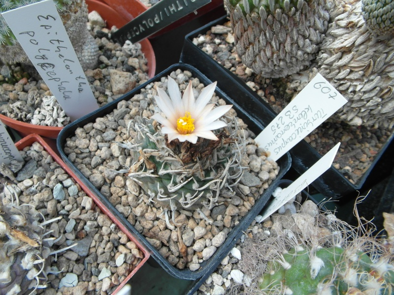Cacti and Sukkulent in Köln, every day new flowers in the greenhouse Part 79 Bild1612