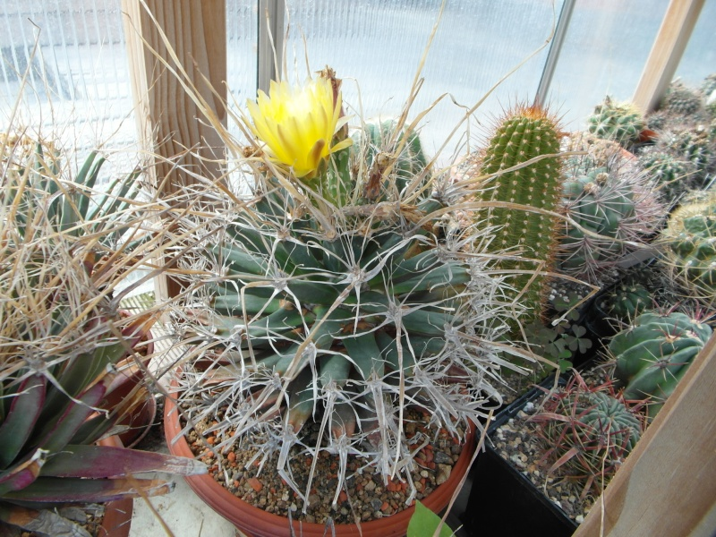 Cacti and Sukkulent in Köln, every day new flowers in the greenhouse Part 79 Bild1613