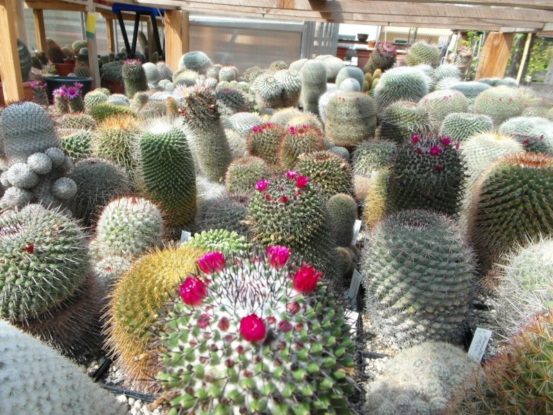 Cacti and Sukkulent in Köln, every day new flowers in the greenhouse Part 79 Bild1614