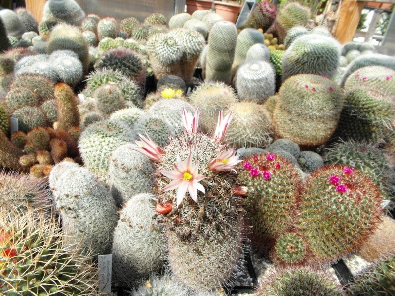 Cacti and Sukkulent in Köln, every day new flowers in the greenhouse Part 79 Bild1615