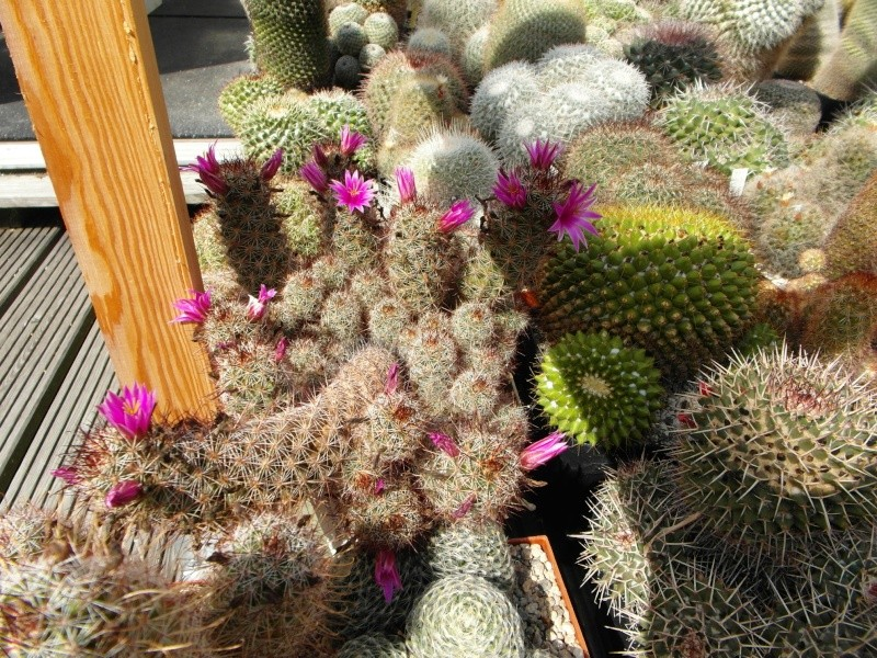Cacti and Sukkulent in Köln, every day new flowers in the greenhouse Part 79 Bild1618