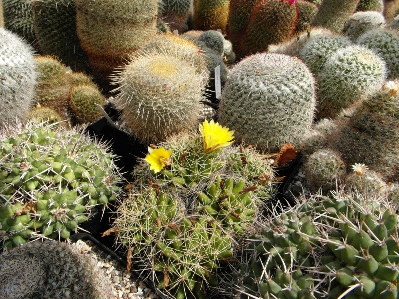 Cacti and Sukkulent in Köln, every day new flowers in the greenhouse Part 79 Bild1619