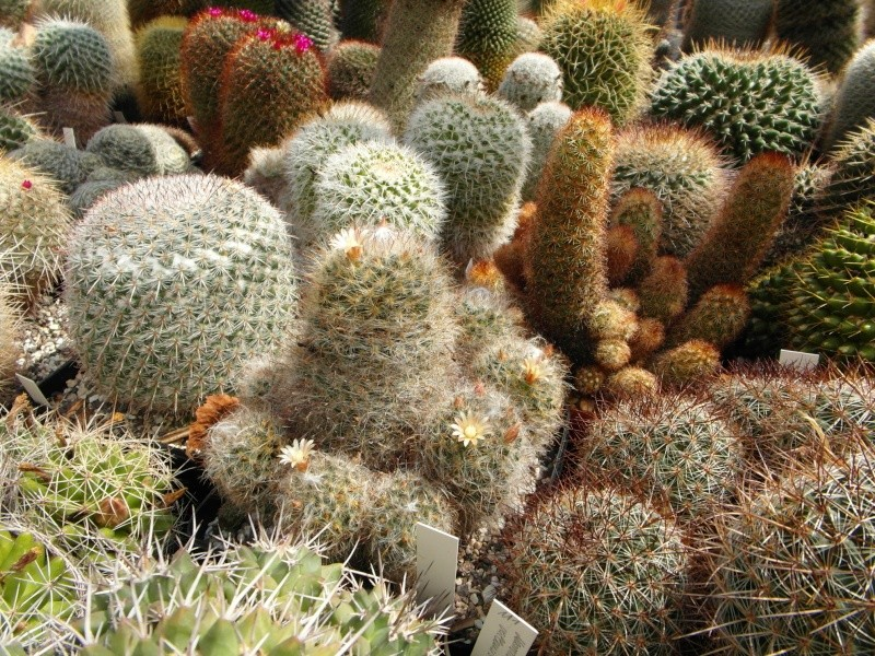 Cacti and Sukkulent in Köln, every day new flowers in the greenhouse Part 79 Bild1620