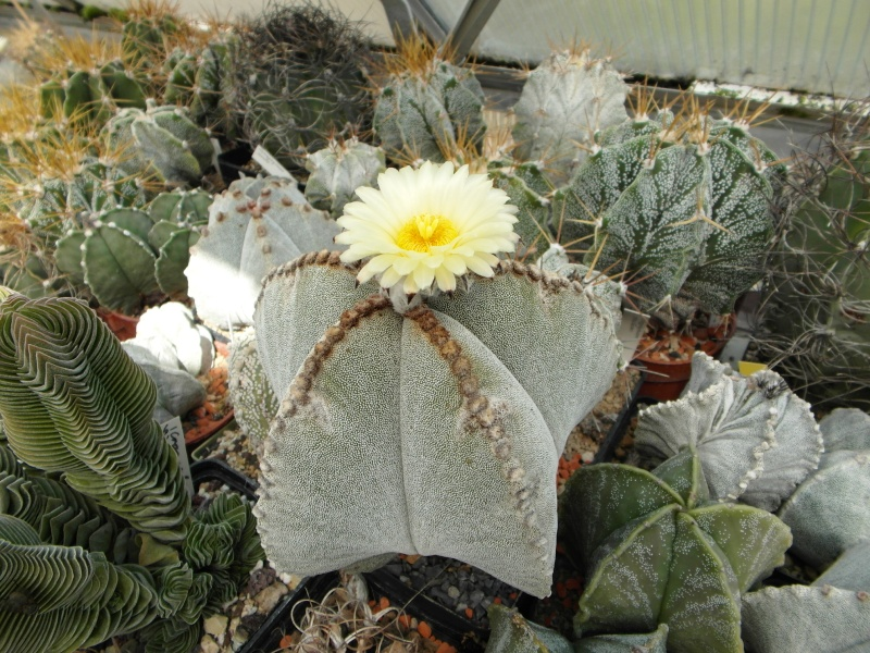 Cacti and Sukkulent in Köln, every day new flowers in the greenhouse Part 79 Bild1621
