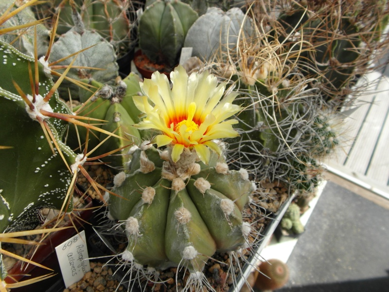 Cacti and Sukkulent in Köln, every day new flowers in the greenhouse Part 79 Bild1622