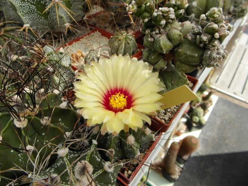 Cacti and Sukkulent in Köln, every day new flowers in the greenhouse Part 79 Bild1623