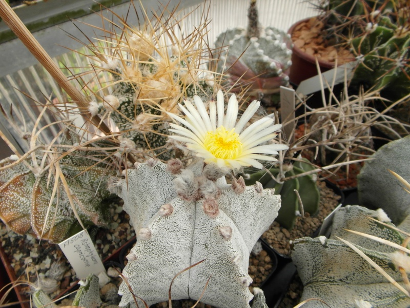 Cacti and Sukkulent in Köln, every day new flowers in the greenhouse Part 79 Bild1626