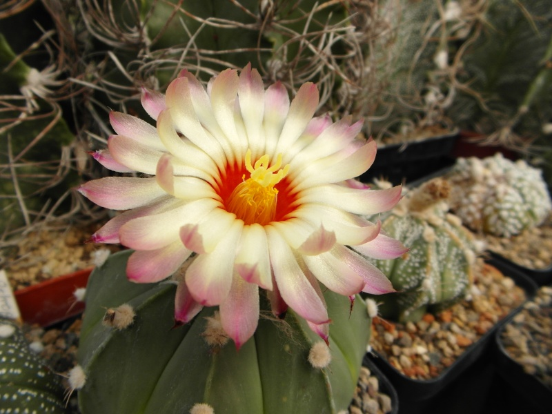 Cacti and Sukkulent in Köln, every day new flowers in the greenhouse Part 79 Bild1630